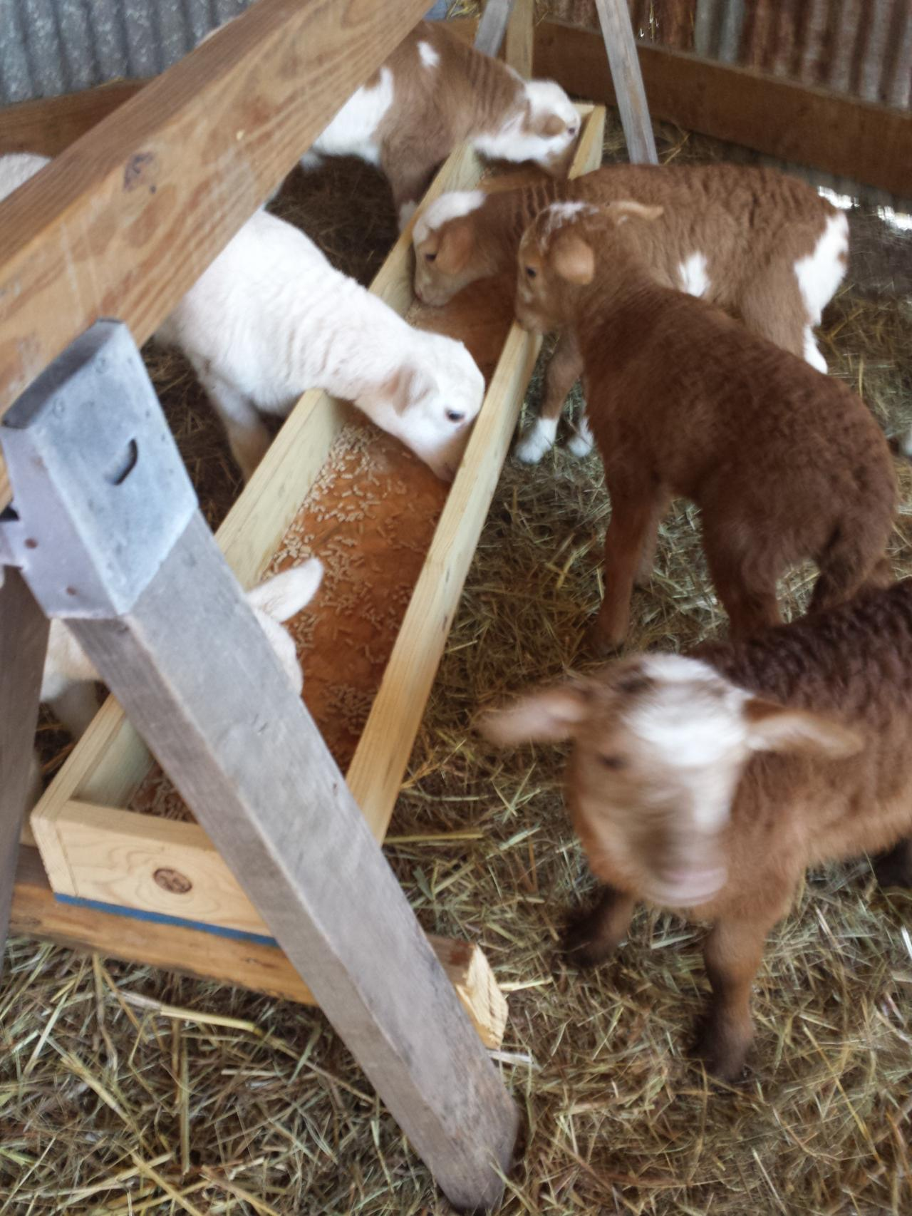 Dautobi Acres - Small scale sheep keeping - Shelter